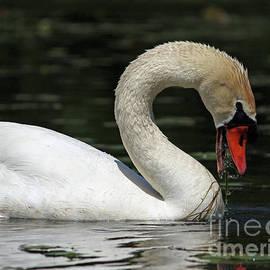 Swan Feeding  by Rachelle Bluster
