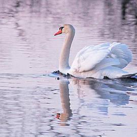 Swan In The Evening Light by Debbie Oppermann