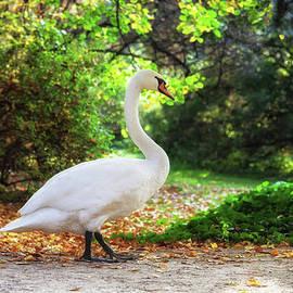 Artur Bogacki - Swan Walking in a Park