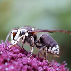 Baldfaced Hornet  by Alida M Haslett