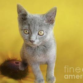Sweet Chartreux Kitten by Elisabeth Lucas