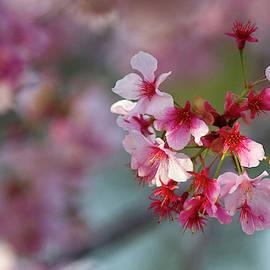 Sweet Cherry Tree by Ruth Jolly