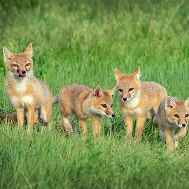 Swift Fox Family by Judi Dressler
