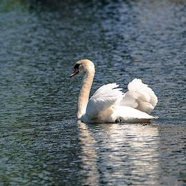 Swimming Mute Swan by Mary Ann Artz