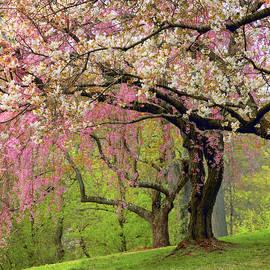Cherry Hillside Grove by Jessica Jenney