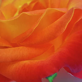 Tahitian Sunset Rose by Julieanne Case