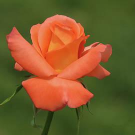 Tangerine Delight - Rose - Floral Photography by Brooks Garten Hauschild