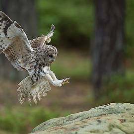 Wonderfulearth - Tawny Owl, Strix aluco, just before landing