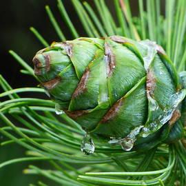 Tears of Pine Cone by Lyuba Filatova