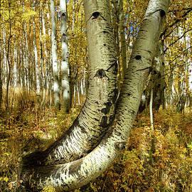 Telluride Twisted Aspens by Norma Brandsberg