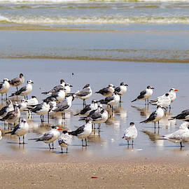 Terns and Gulls Panoramic by Mary Ann Artz