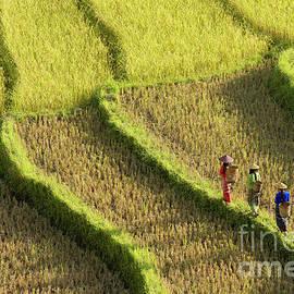 Traditionally Dressed Women Walking Along Rice Terraces in Burma by Tom Schwabel