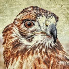 Tess the Lady Hawk Antiqed Postcard by Janice Pariza