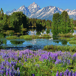 Tetons and Lupines