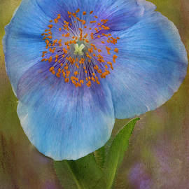 Textured Blue Poppy Flower  by Susan Candelario