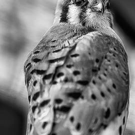 The American Kestrel Black And White by Kyle Findley