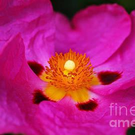The Australian Hibiscus by Joy Watson