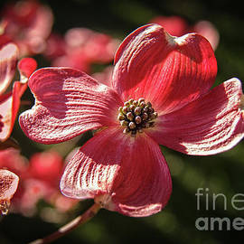 The Beautiful Red Dogwood  by Robert Bales