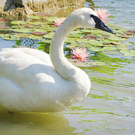 The Beauty Of A Swan by Julie Palencia