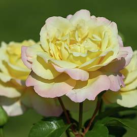 The Beauty. Rose Peace by Jouko Lehto