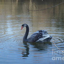 The Black Swan Of Brandywine Valley by Susan Carella