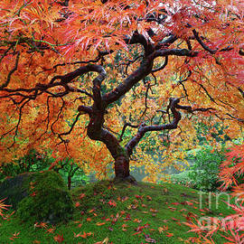 Laceleaf Maple at Portland Japanese Garden with Autumn Foliage by Tom Schwabel