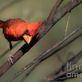 The Cardinal Look by Lisa Manifold