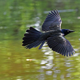 The Common Grackle in-flight by Asbed Iskedjian