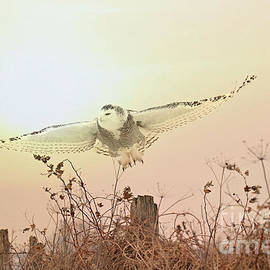 The elegance of the snowy owl by Heather King