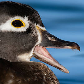 The Female Wood Duck by Paul Martin
