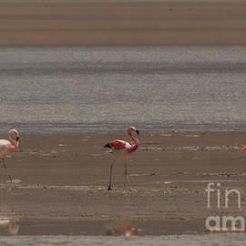 The Flamingos by Brian Kamprath