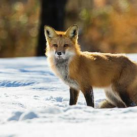 Mircea Costina Photography - The Golden Fox