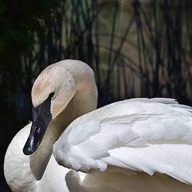The Grace of the Trumpeter Swan by Lkb Art And Photography