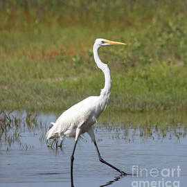 Kerri Farley - The Great Egret