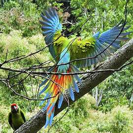 The Great Green Macaw by Leslie Struxness