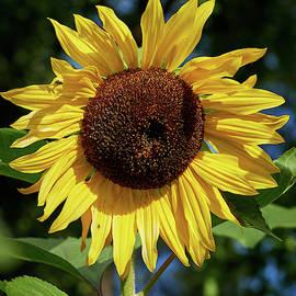 The Great Sunflower by Jouko Lehto