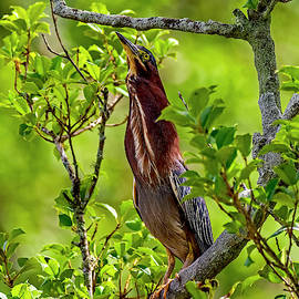 The Green Heron Stretch by TJ Baccari