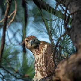 The Hawk Eye Stare  by Dale Powell