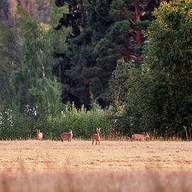 The herd. European roe deer by Jouko Lehto