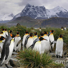 King Penguins with a Mountain Backdrop on South Georgia Island by Tom Schwabel