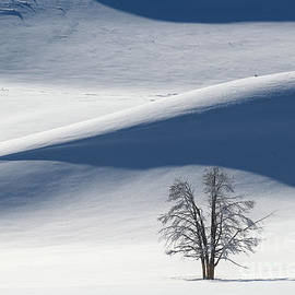 Lone Tree in Yellowstone during Winter by Tom Schwabel