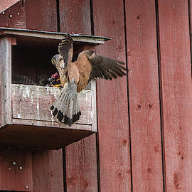The male Kestrel deliver a fresh vole by Torbjorn Swenelius