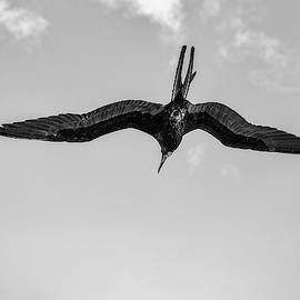 The Male Magnificent Frigate Bird in Black and White by Kay Brewer