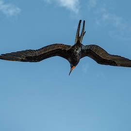 The Male Magnificent Frigate Bird by Kay Brewer