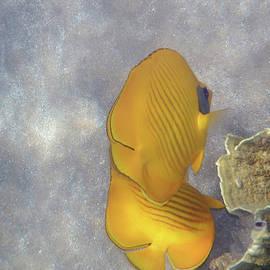 Johanna Hurmerinta - The Masked Butterflyfish Naturally