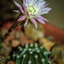 The  Night Bloomer by Robert Bales