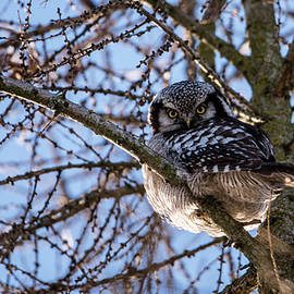 The Northern Hawk Owl perching on a larch branch by Torbjorn Swenelius