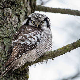 The Northern Hawk Owl Perching On A Pine Branch by Torbjorn Swenelius