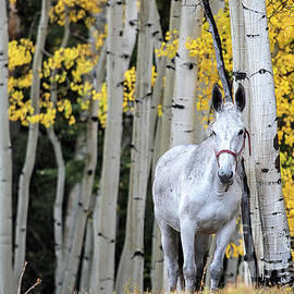 The Old Gray Mule  by Jim Garrison