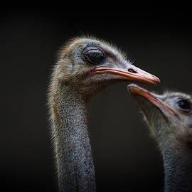 The Ostrich by Christine Sponchia